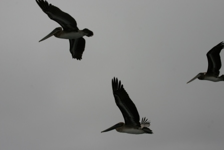 Pelícanos sobrevolando el barco