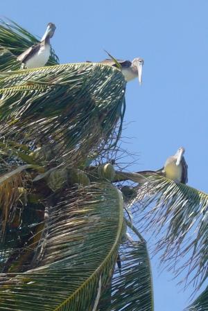 Pelícanos controlando el banco de peces.