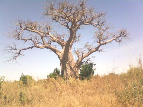 Arbol en Mbourokh.la aldea está situada muy cerca de los complejos turísticos