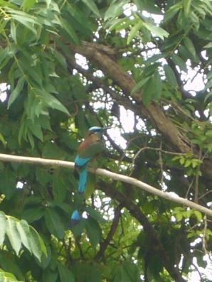 Pájaro de centroamérica cuyas plumas eran usadas por los Mayas