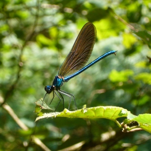 libélula azul