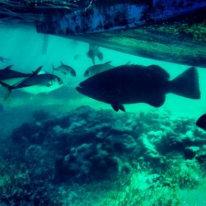 Un mero enorme debajo del barco en la reserva marina de Hol Chan