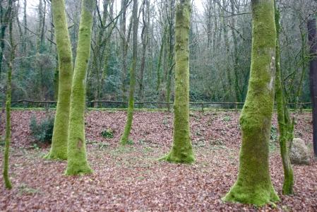 Árboles cubiertos de musgo en el Areal de Berres (A Estrada)