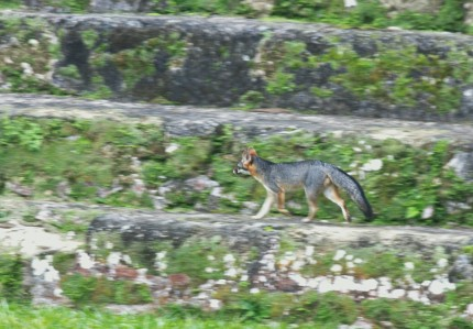 zorra gris en Tikal