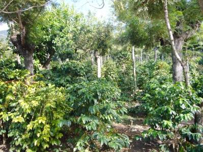 plantación de café en Antigua guatemala