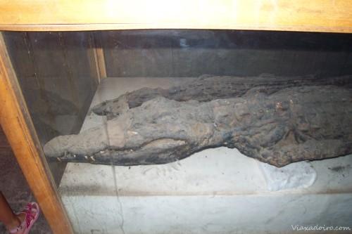 Momia de un cocodrilo en el templo de Komombo